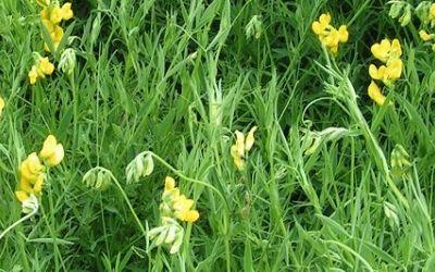 Перспективные травяные культуры: резервы и преграды